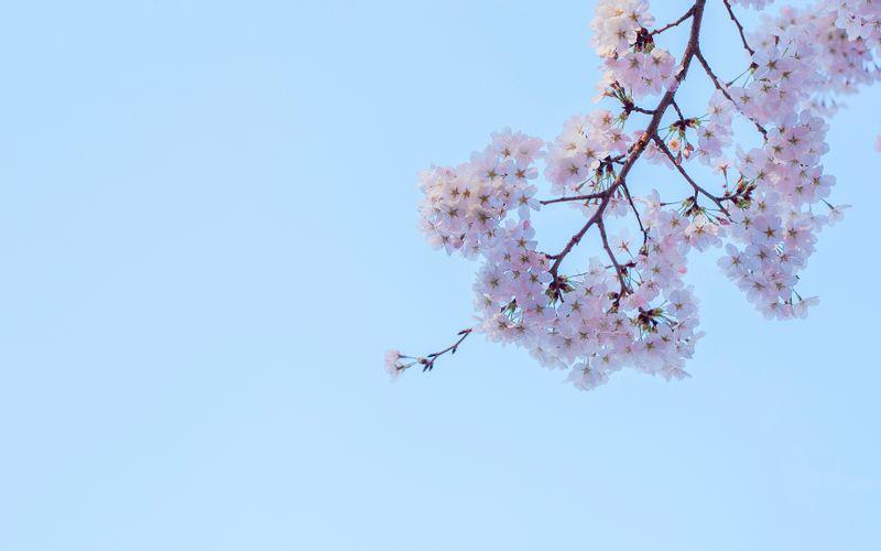 桜 壁紙の部屋 ツーリングとイラストと壁紙のサイト Palette